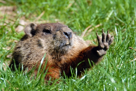 http://wonderopolis.org/wonder/do-woodchucks-really-chuck-wood
